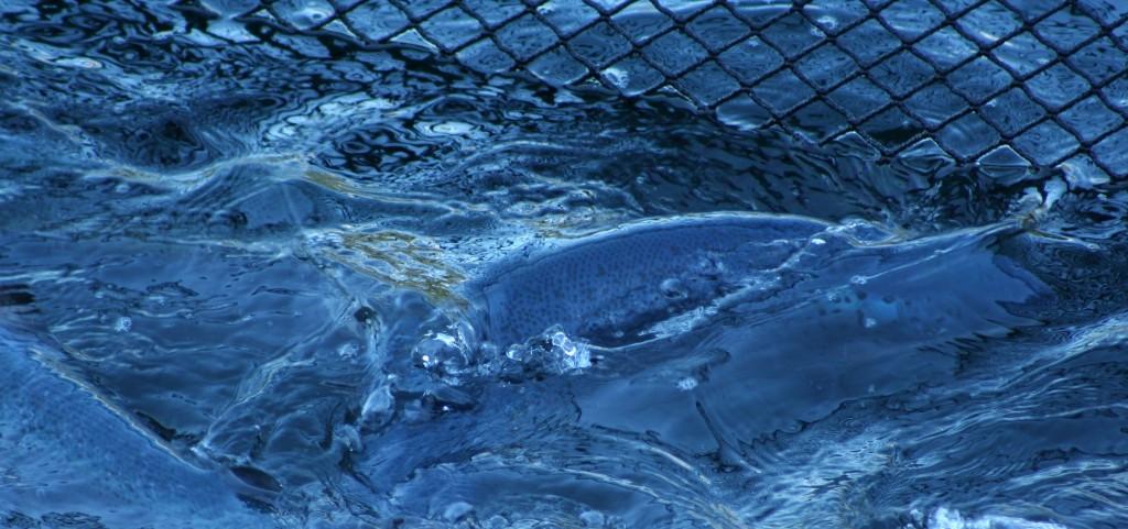Water-waves-fence-farmed-salmon-Lofoten-islands